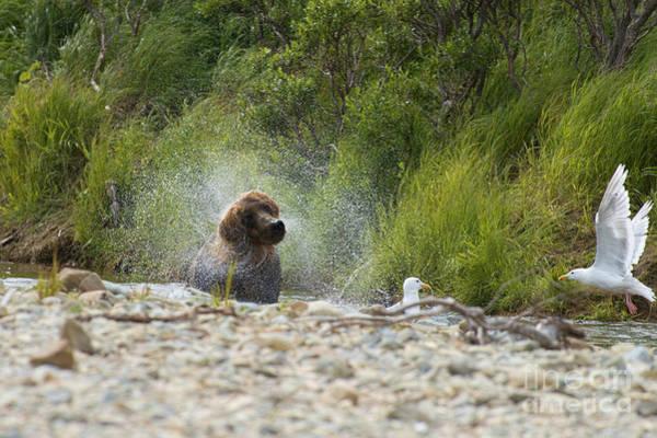 Photograph - Brown Bear Shaking Looking Like Dog by Dan Friend