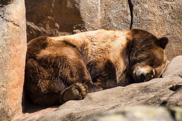 Photograph - Brown Bear Sleeping by Chris Flees