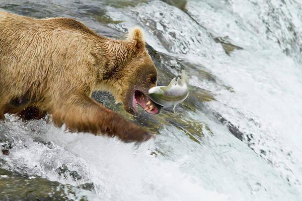 Wall Art - Photograph - Brown Bear  Ursus Arctos  Catching by Gary Schultz