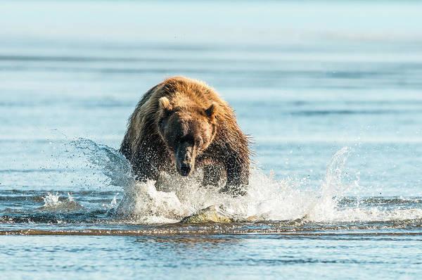 Wall Art - Photograph - Brown Bear  Ursus Arctos  Chasing Fish by Deb Garside