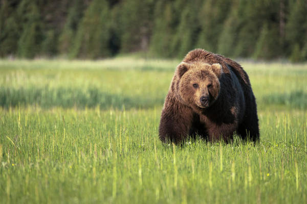 Wall Art - Photograph - Brown Bear  Ursus Arctos  In Lake Clark by Marg Wood