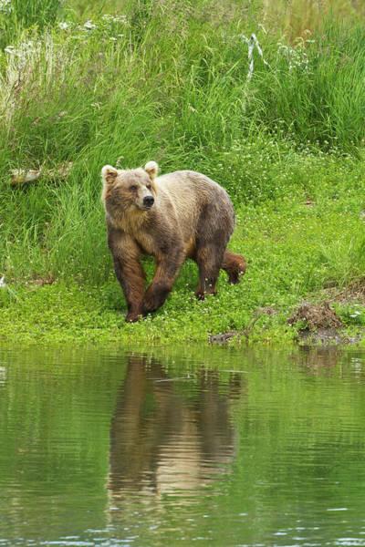 Wall Art - Photograph - Brown Bear  Ursus Arctos  Walking by Gary Schultz