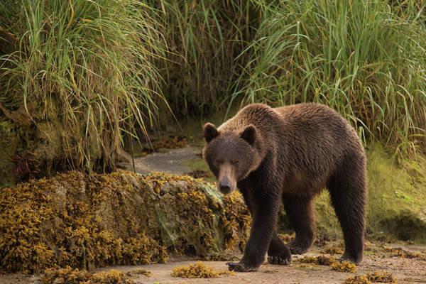 Wall Art - Photograph - Brown Bear  Ursus Arctos  Walking by Marg Wood