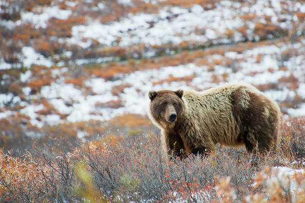Born In The Usa Photograph - Brown Bear Ursus Arctos Watchful In A by Cathy Hart / Design Pics