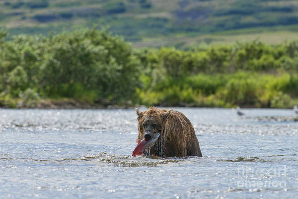 Photograph - Brown Bear With Caught Salmon In Stream by Dan Friend