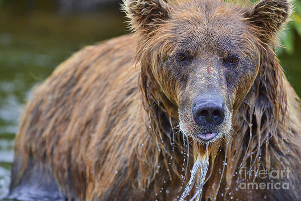 Photograph - Brown Bear With Water Pouring Off Face by Dan Friend