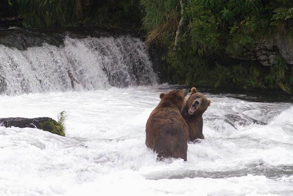 Toughness Photograph - Brown Bears Ursus Arctos Sparing For by Richard Maschmeyer / Design Pics