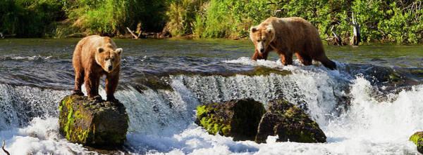 Wall Art - Photograph - Brown Bears  Ursus Arctos  Standing by Gary Schultz