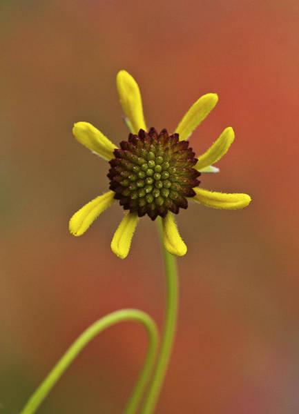 Photograph - Brown Bitterweed Flower Opening by Steven Schwartzman