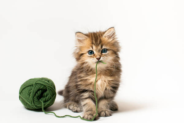 Brown Blue-eyed Kitten With Green Wool In Mouth Art Print by Benjamin Torode