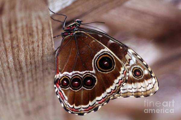 Photograph - Brown Butterfly by Jeremy Hayden