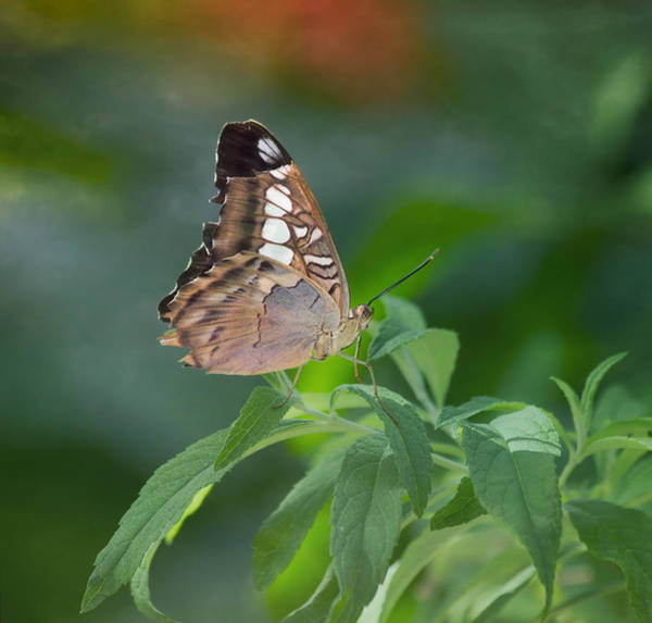 Photograph - Brown Butterfly by Kim Hojnacki
