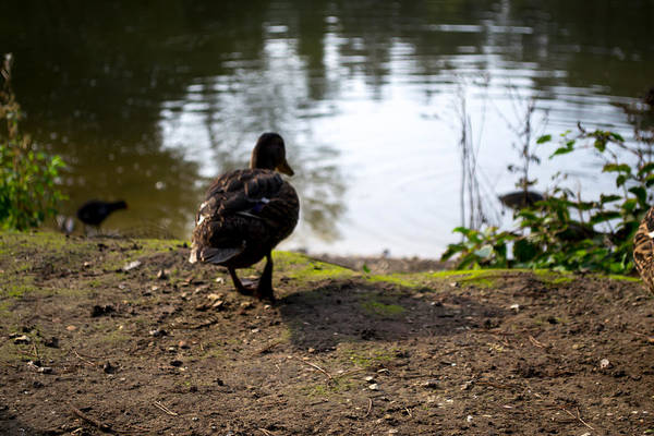 Photograph - Brown Duck Going For A Swim by Scott Lyons