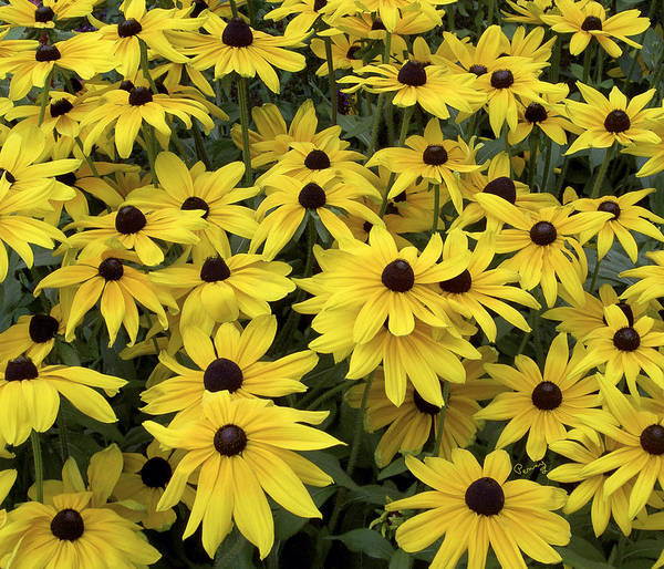Photograph - Brown Eyed Susans by Penny Lisowski