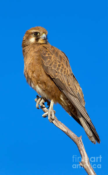 Northern Territory Photograph - Brown Falcon by Bill  Robinson