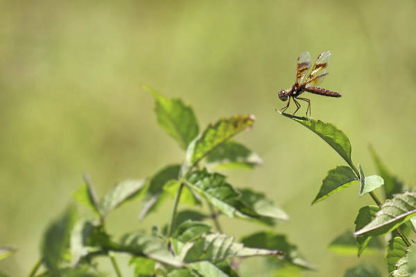 Photograph - Brown Hawker Dragonfly by Jason Politte