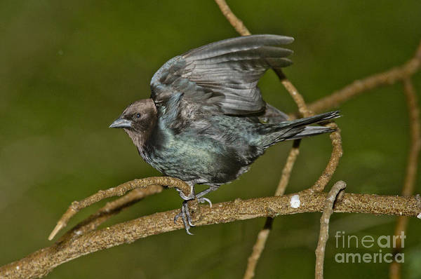 Brown-headed Cowbird Photograph - Brown-headed Cowbird by Anthony Mercieca