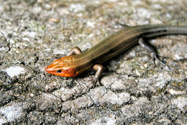 Photograph - Brown Headed Skink by Richard Lynch