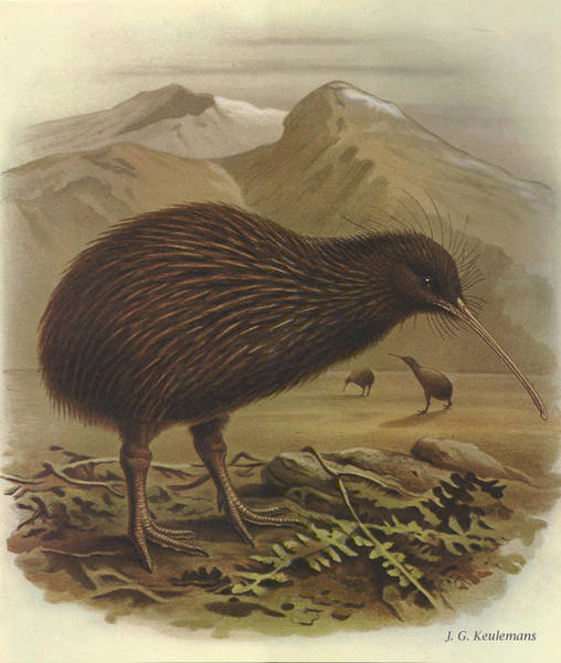 Wall Art - Painting - Brown Kiwi by Dreyer Wildlife Print Collections