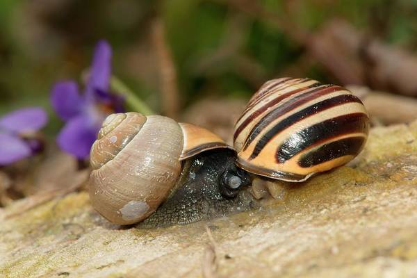 Courtship Photograph - Brown-lipped Snails Mating by Dr. John Brackenbury