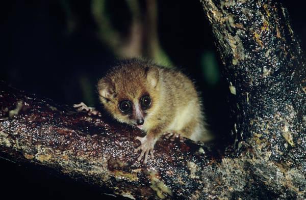 Lemurs Photograph - Brown Mouse Lemur by Tony Camacho/science Photo Library