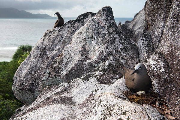 James Brown Photograph - Brown Noddy With Egg On Granite Ledge by James Warwick