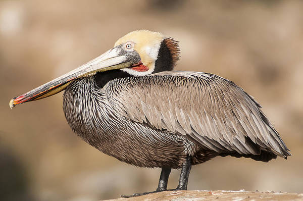 Photograph - Brown Pelican 2 by Lee Kirchhevel