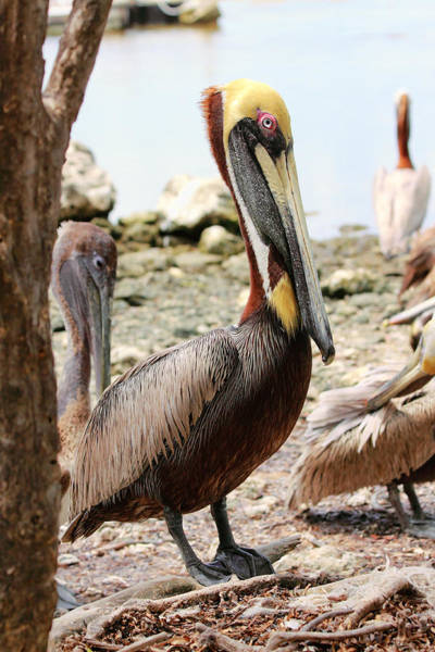 Photograph - Brown Pelican -5 by Rudy Umans
