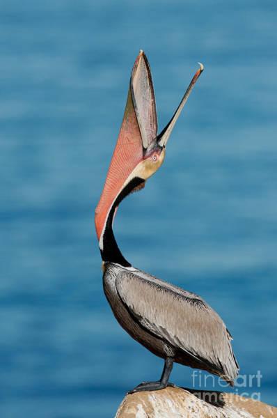 Gular Photograph - Brown Pelican Bill Throw by Anthony Mercieca