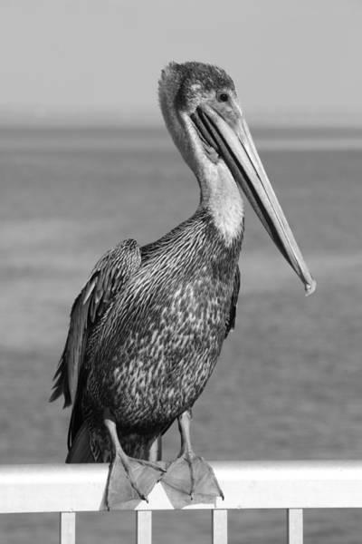 Cedar Key Photograph - Brown Pelican by Christian Heeb