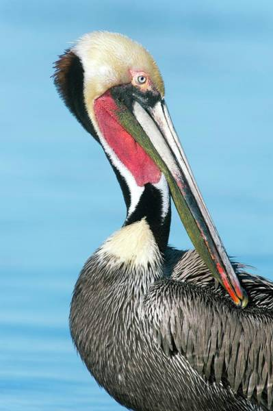 California Brown Pelican Photograph - Brown Pelican by Christopher Swann/science Photo Library