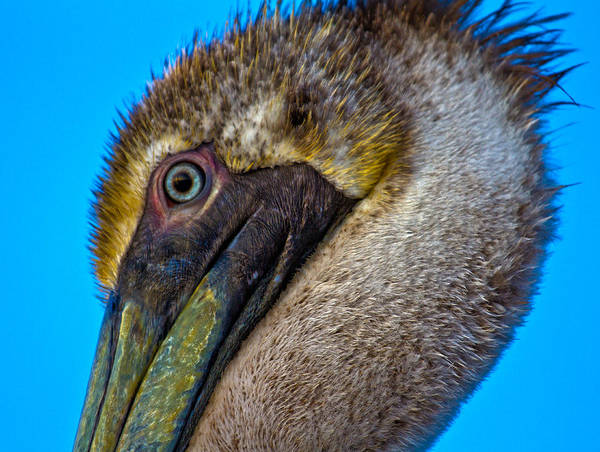 Brown Pelicans Wall Art - Photograph - Brown Pelican by Betsy Knapp