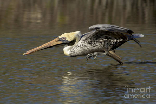 Photograph - Brown Pelican Fishing Photo by Meg Rousher