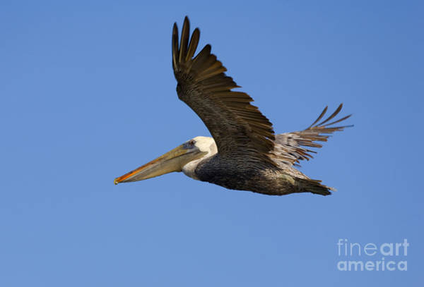 Brown Pelicans Wall Art - Photograph - Brown Pelican Flight by Mike  Dawson