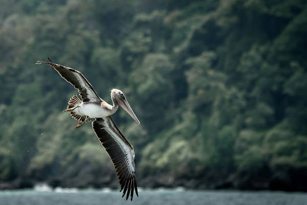 Colombian Wall Art - Photograph - Brown Pelican Flying by Cedric Favero