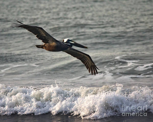 Photograph - Brown Pelican In Flight by Jemmy Archer