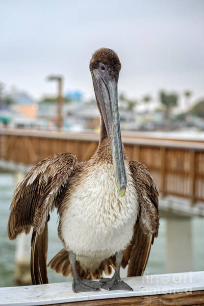 Photograph - Brown Pelican On The Ft Myers Pier by Edward Fielding