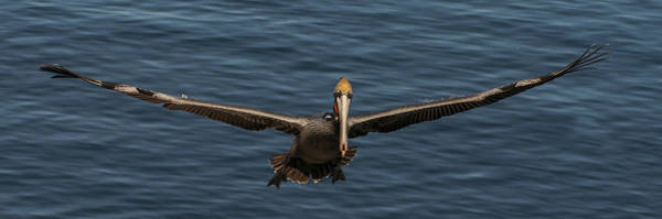 Photograph - Brown Pelican Panorama by Lee Kirchhevel