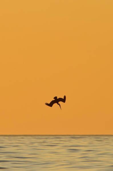 California Brown Pelican Photograph - Brown Pelican Pelecanus Occidentalis by Animal Images
