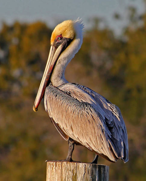 Gular Photograph - Brown Pelican Pose by HH Photography of Florida
