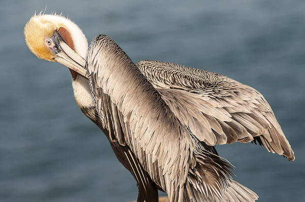Photograph - Brown Pelican Preening 1 by Lee Kirchhevel