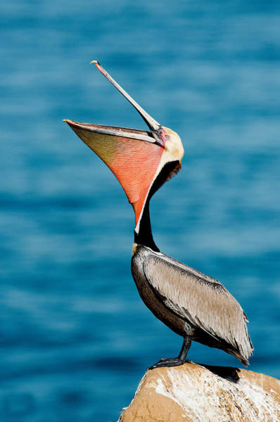 Gular Photograph - Brown Pelican Showing Pouch by Anthony Mercieca