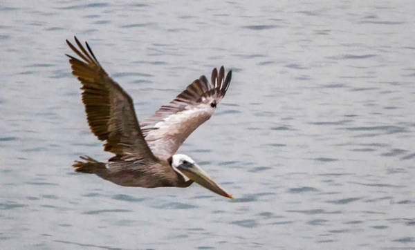 Digital Art - Brown Pelican Soaring Over The Ocean by Photographic Art by Russel Ray Photos