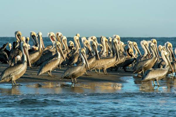 Baja Mexico Photograph - Brown Pelicans by Christopher Swann