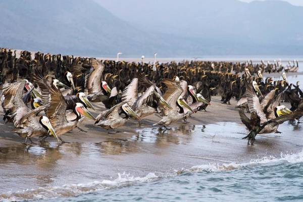 California Brown Pelican Photograph - Brown Pelicans Flocking On A Beach by Christopher Swann/science Photo Library