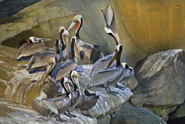 California Brown Pelican Photograph - Brown Pelicans Pelecanus Occidentalis by Animal Images