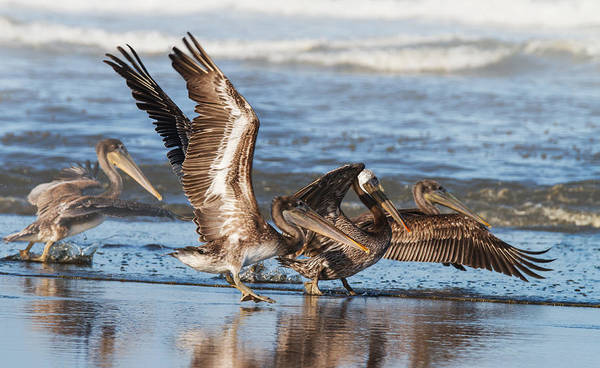 Wall Art - Photograph - Brown Pelicans Taking Flight by Angie Vogel