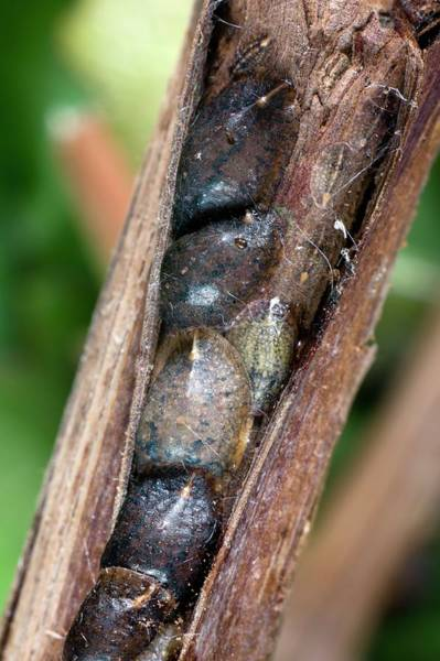 Grapevine Photograph - Brown Scale Insects On A Vine Stem by Dr Jeremy Burgess/science Photo Library
