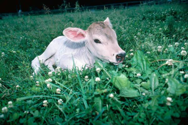 Wall Art - Photograph - Brown Swiss Calf by Bonnie Sue Rauch
