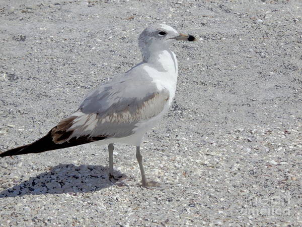 Photograph - Brown Tailed Gull by Jeanne Forsythe